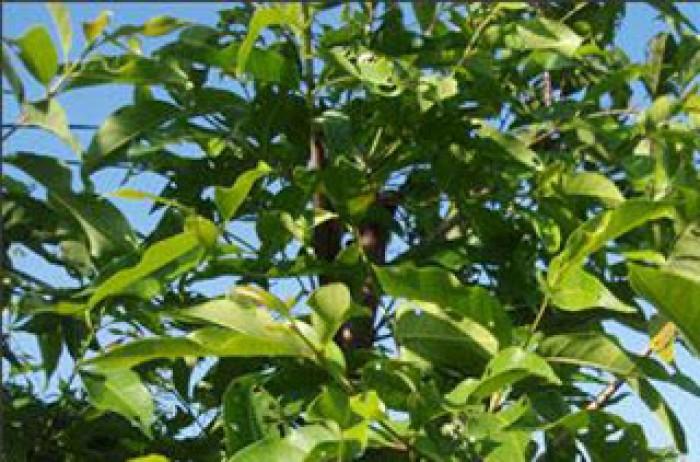 Cung cấp giống cây vối nếp, cây con, cây trưởng thành vừa làm cảnh, vừa lấy lá uống rất mát. phù hợp với cơ thể16