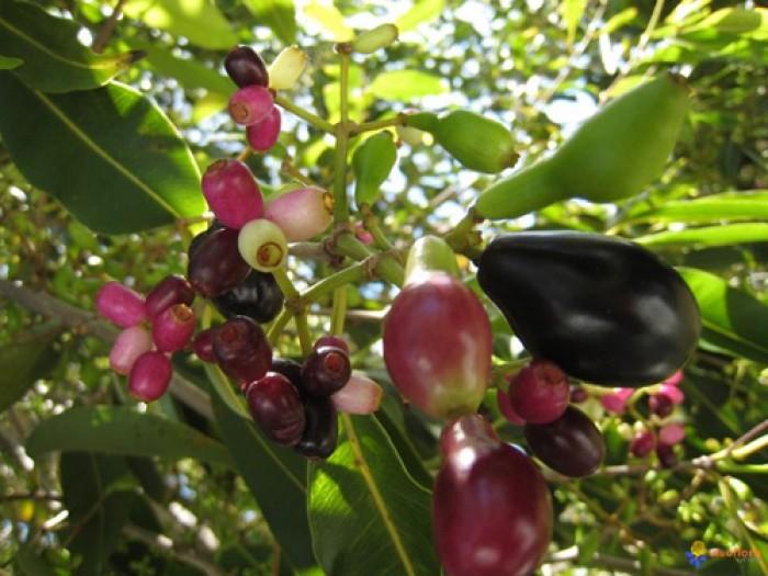 Cung cấp giống cây vối nếp, cây con, cây trưởng thành vừa làm cảnh, vừa lấy lá uống rất mát. phù hợp với cơ thể11