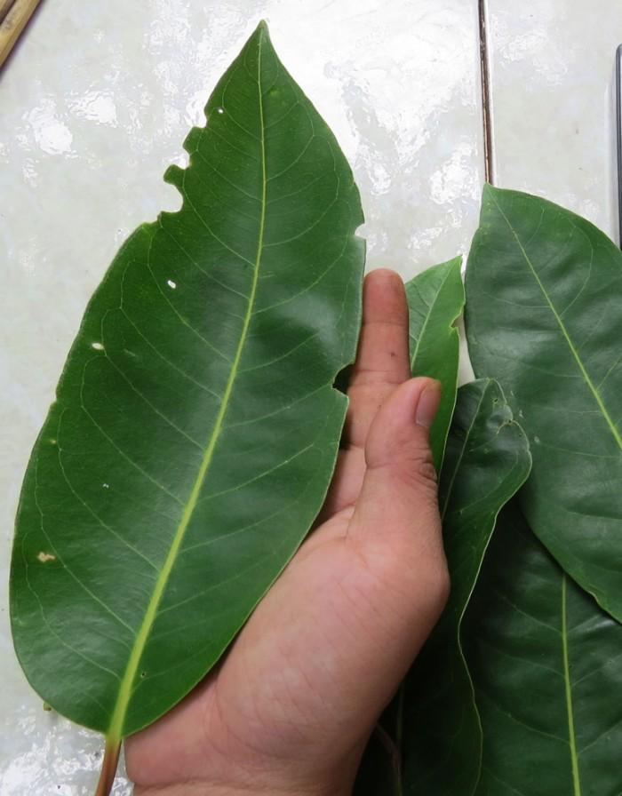 Cung cấp giống cây vối nếp, cây con, cây trưởng thành vừa làm cảnh, vừa lấy lá uống rất mát. phù hợp với cơ thể6