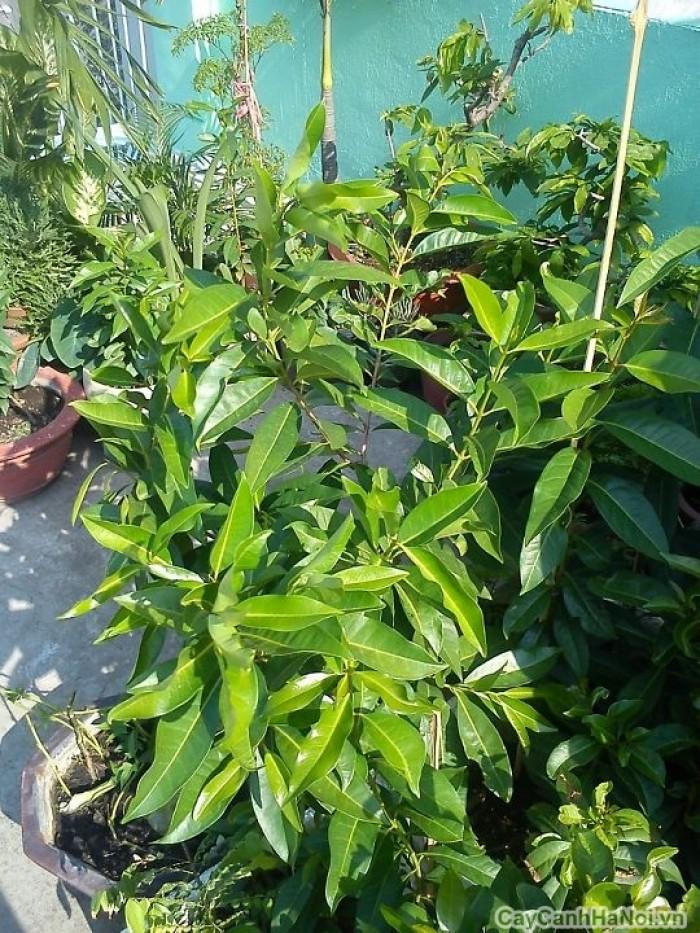 Cung cấp giống cây vối nếp, cây con, cây trưởng thành vừa làm cảnh, vừa lấy lá uống rất mát. phù hợp với cơ thể3