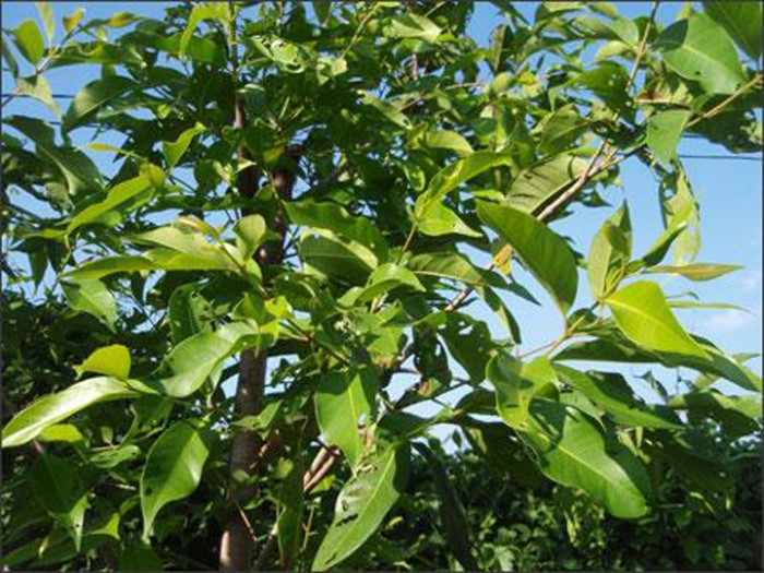 Cung cấp giống cây vối nếp, cây con, cây trưởng thành vừa làm cảnh, vừa lấy lá uống rất mát. phù hợp với cơ thể7
