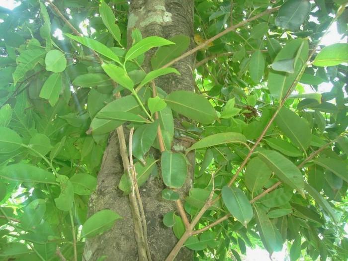 Cung cấp giống cây vối nếp, cây con, cây trưởng thành vừa làm cảnh, vừa lấy lá uống rất mát. phù hợp với cơ thể8
