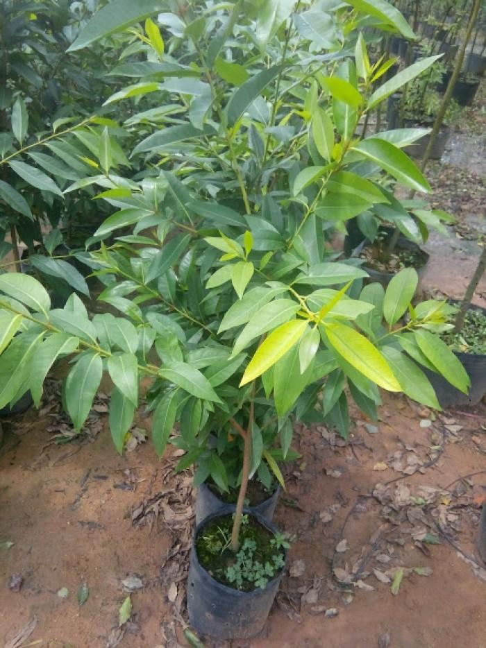 Cung cấp giống cây vối nếp, cây con, cây trưởng thành vừa làm cảnh, vừa lấy lá uống rất mát. phù hợp với cơ thể5