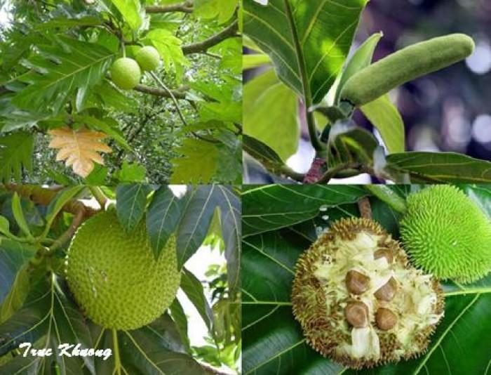 Giống cây sa kê, cây sa kê chiết ra quả sau 1 năm trồng, loại cây vừa làm phong cảnh vừa làm cây ăn quả.4