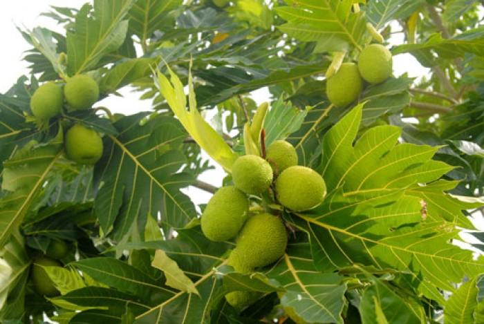 Giống cây sa kê, cây sa kê chiết ra quả sau 1 năm trồng, loại cây vừa làm phong cảnh vừa làm cây ăn quả.0