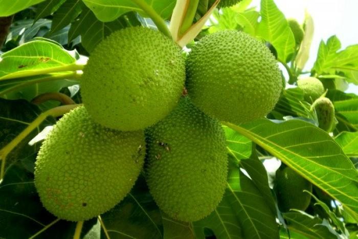 Giống cây sa kê, cây sa kê chiết ra quả sau 1 năm trồng, loại cây vừa làm phong cảnh vừa làm cây ăn quả.3