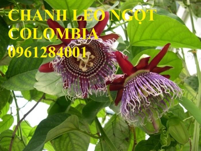 Mua cây giống chanh leo ngọt colombia, chanh leo vàng ngọt, cây giống nhập khẩu uy tín10