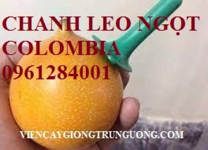 Mua cây giống chanh leo ngọt colombia, chanh leo vàng ngọt, cây giống nhập khẩu uy tín14
