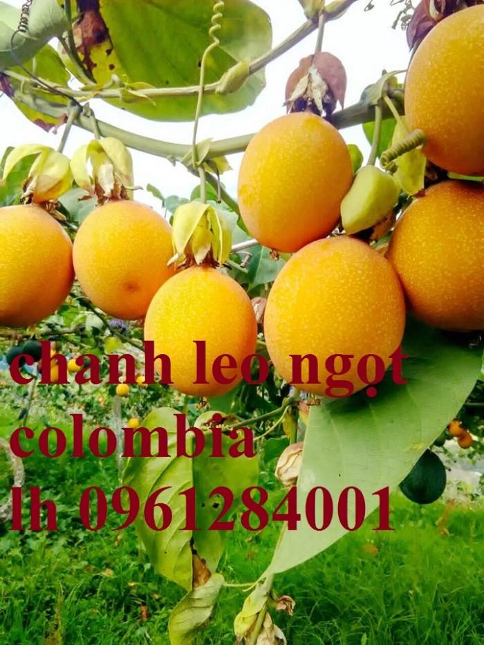Mua cây giống chanh leo ngọt colombia, chanh leo vàng ngọt, cây giống nhập khẩu uy tín4