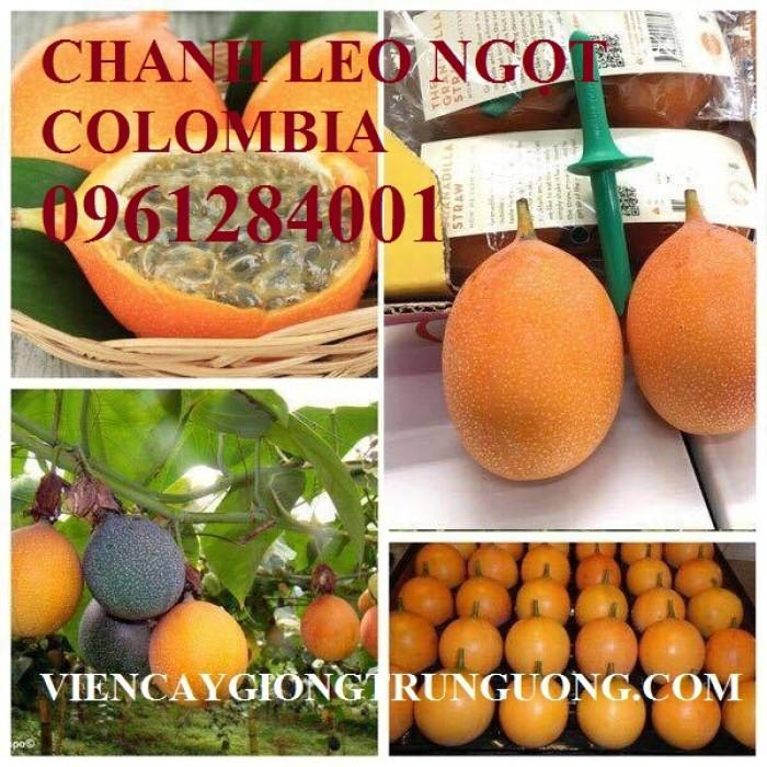 Mua cây giống chanh leo ngọt colombia, chanh leo vàng ngọt, cây giống nhập khẩu uy tín5