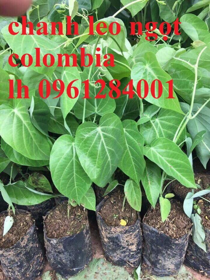 Mua cây giống chanh leo ngọt colombia, chanh leo vàng ngọt, cây giống nhập khẩu uy tín3