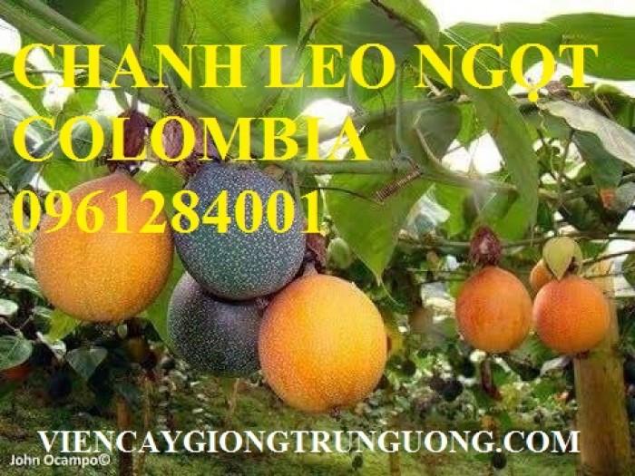 Mua cây giống chanh leo ngọt colombia, chanh leo vàng ngọt, cây giống nhập khẩu uy tín13