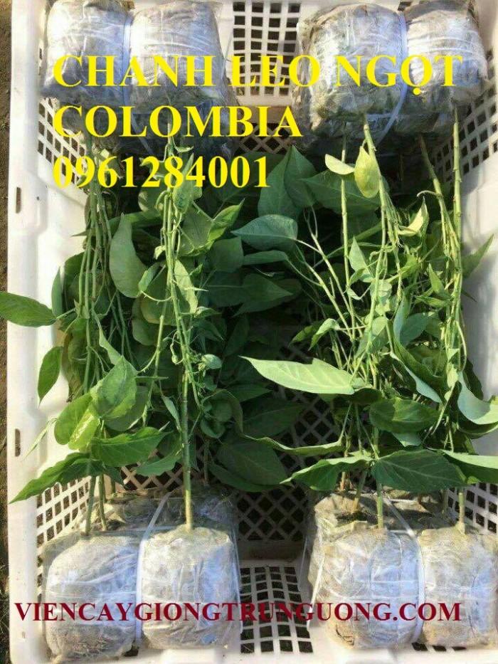 Mua cây giống chanh leo ngọt colombia, chanh leo vàng ngọt, cây giống nhập khẩu uy tín0