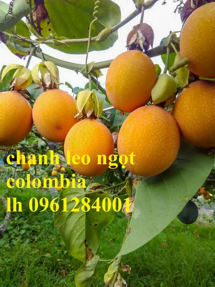 Mua cây giống chanh leo ngọt colombia, chanh leo vàng ngọt, cây giống nhập khẩu uy tín2