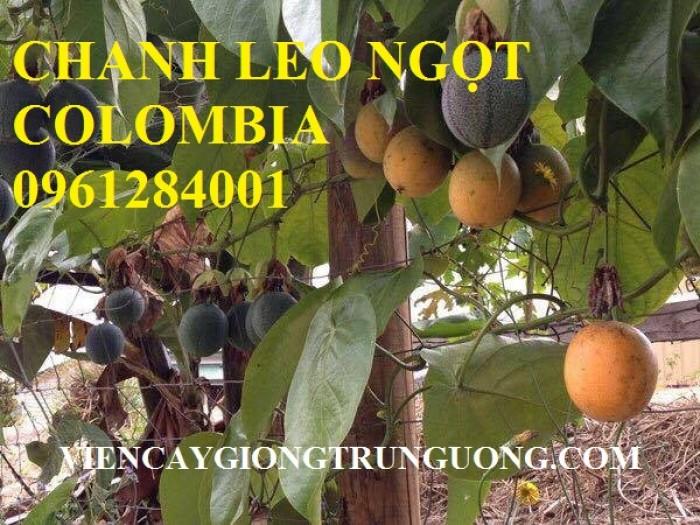 Mua cây giống chanh leo ngọt colombia, chanh leo vàng ngọt, cây giống nhập khẩu uy tín11
