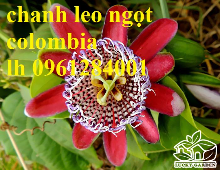 Mua cây giống chanh leo ngọt colombia, chanh leo vàng ngọt, cây giống nhập khẩu uy tín16