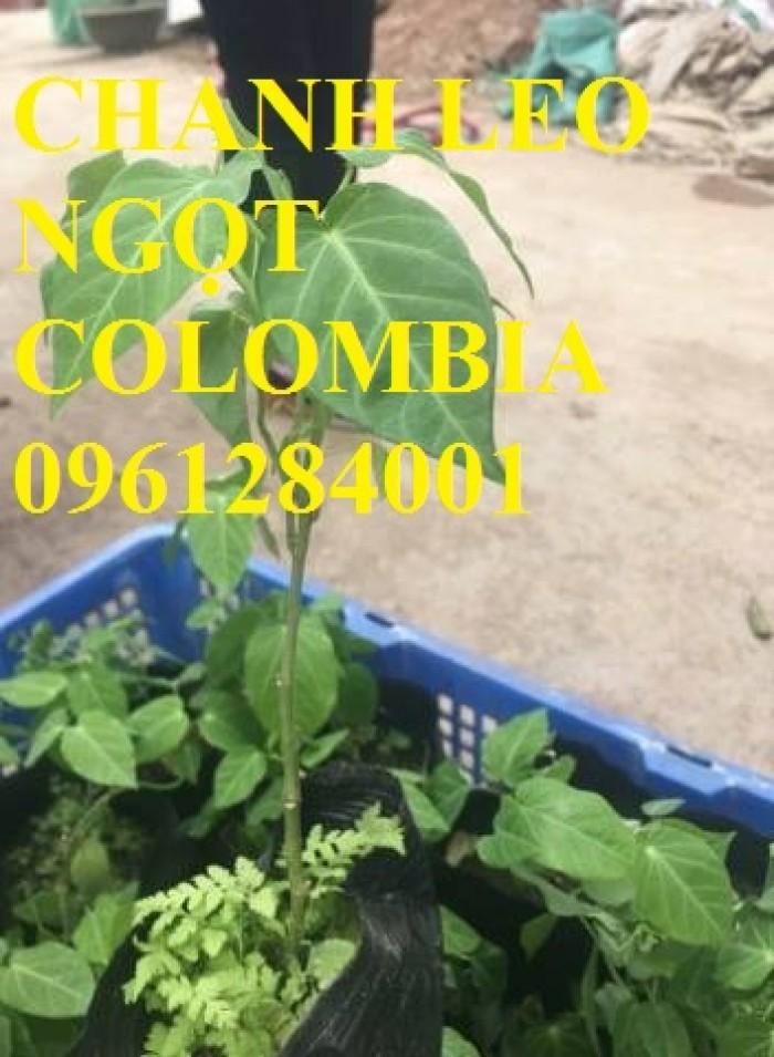 Mua cây giống chanh leo ngọt colombia, chanh leo vàng ngọt, cây giống nhập khẩu uy tín1