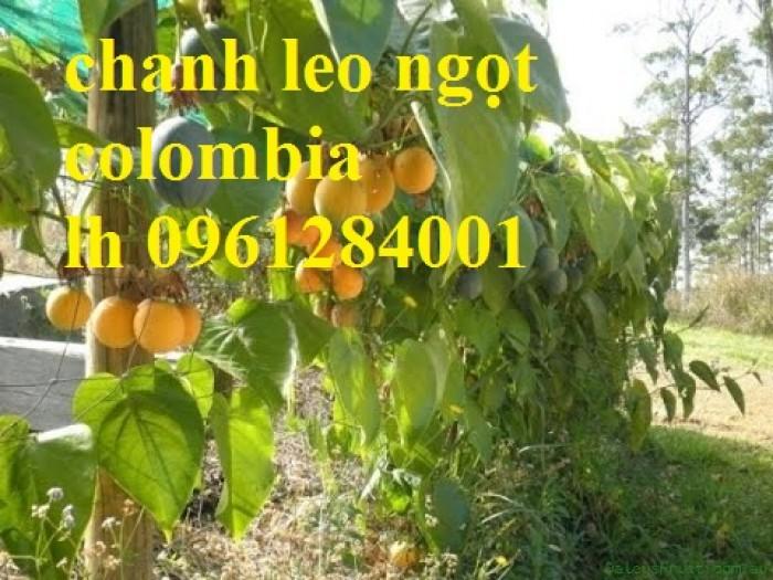 Mua cây giống chanh leo ngọt colombia, chanh leo vàng ngọt, cây giống nhập khẩu uy tín12
