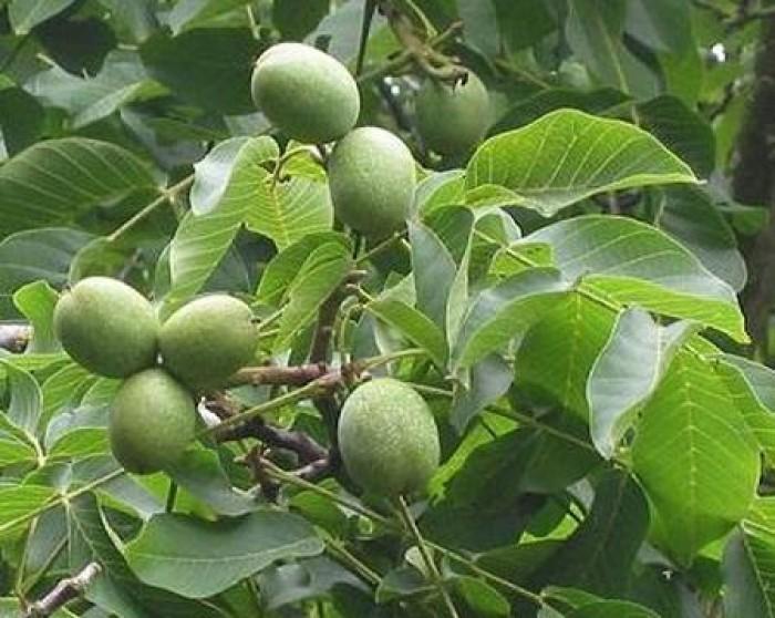Viện cây giống trung ương cung cấp giống cây óc chó, chuẩn giống cây nhập khảu, cung cấp số lượng lớn5