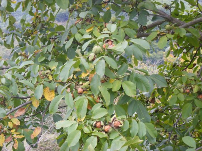 Viện cây giống trung ương cung cấp giống cây óc chó, chuẩn giống cây nhập khảu, cung cấp số lượng lớn4