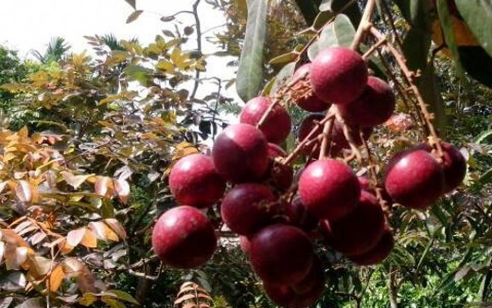 Giống cây nhãn tím cây ghép, chuẩn giống, cung cấp sỉ lẻ, giá rẻ nhất miền bắc.4