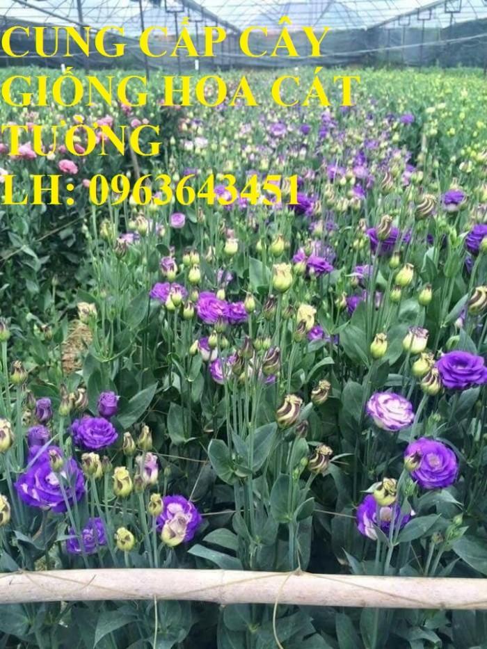 Cung cấp cây giống hoa cát tường, giống cây hoa cát tường cấy mô số lượng lớn, giá sỉ rẻ nhất0