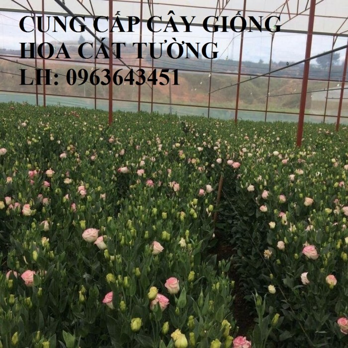 Cung cấp cây giống hoa cát tường, giống cây hoa cát tường cấy mô số lượng lớn, giá sỉ rẻ nhất2