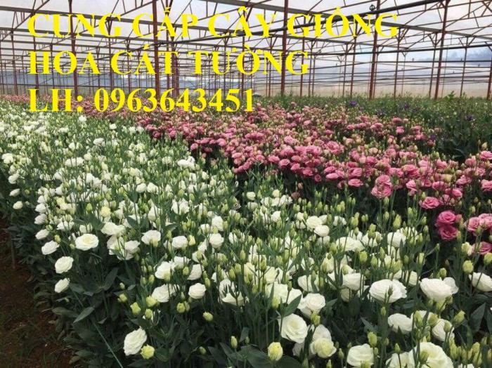 Cung cấp cây giống hoa cát tường, giống cây hoa cát tường cấy mô số lượng lớn, giá sỉ rẻ nhất3