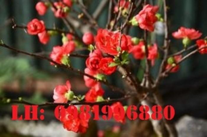 Hoa mai đỏ - Vẻ đẹp ngày tết6
