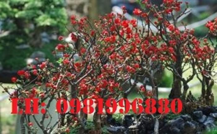 Hoa mai đỏ - Vẻ đẹp ngày tết5