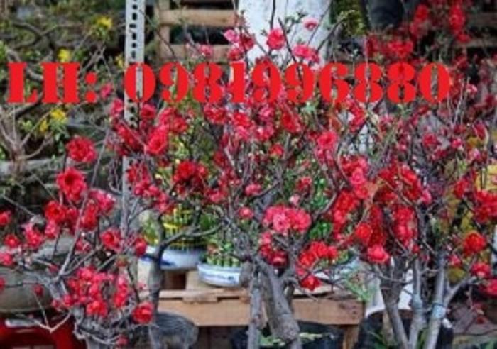 Hoa mai đỏ - Vẻ đẹp ngày tết3