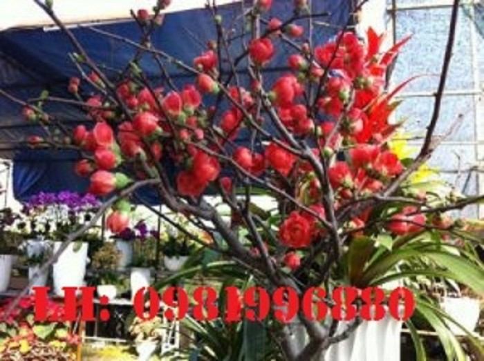 Hoa mai đỏ - Vẻ đẹp ngày tết1