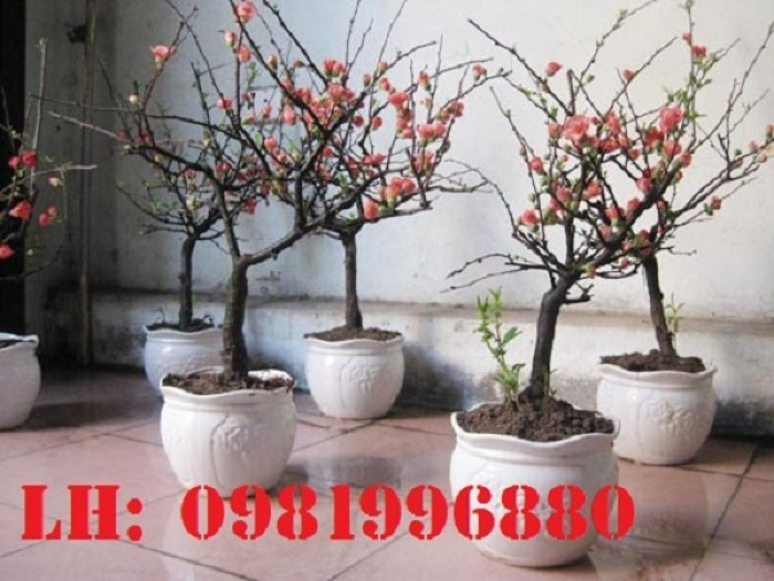 Hoa mai đỏ - Vẻ đẹp ngày tết2