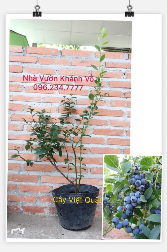 Cây Việt Quất Đã Ra Trái0