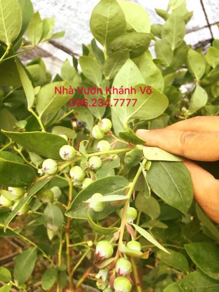 Cây Việt Quất Đã Ra Trái1