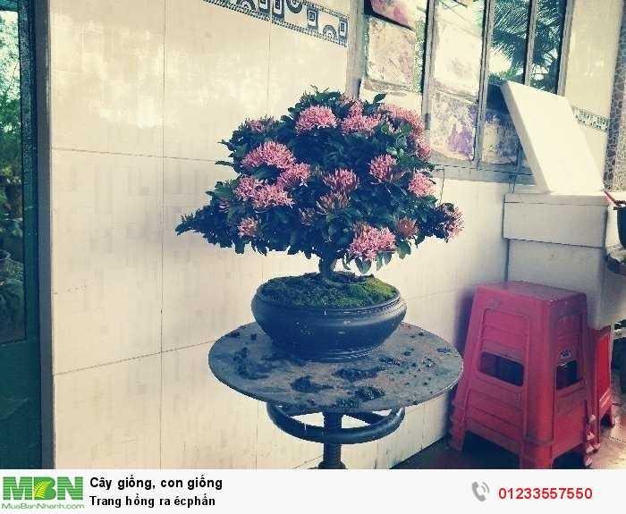 Trang hồng ra écphấn0