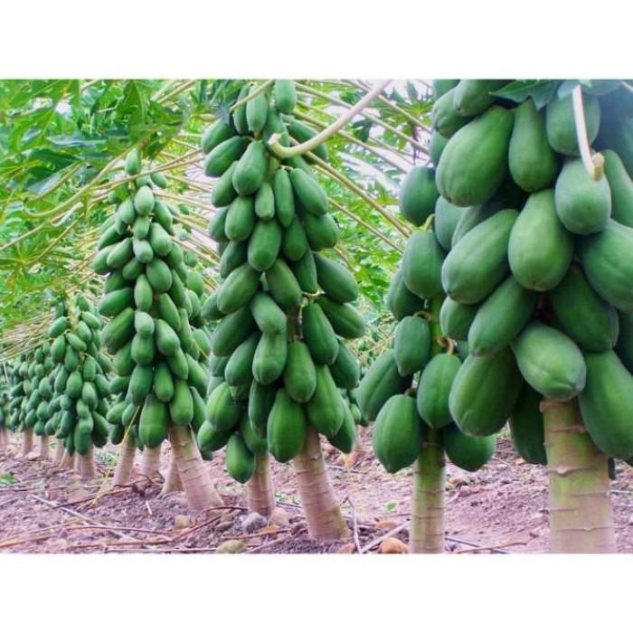 cây đu đủ trưởng thành 03991896841