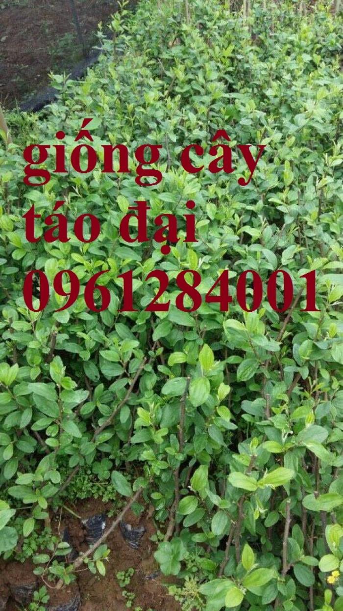 Bán cây giống táo đại, chuẩn giống, số lượng lớn, giao cây toàn quốc.7