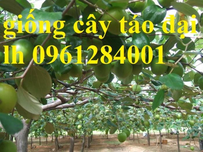 Bán cây giống táo đại, chuẩn giống, số lượng lớn, giao cây toàn quốc.8