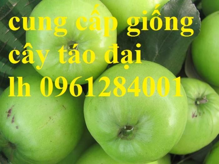 Bán cây giống táo đại, chuẩn giống, số lượng lớn, giao cây toàn quốc.9