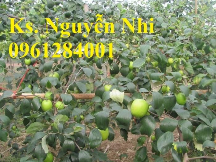 Bán cây giống táo đại, chuẩn giống, số lượng lớn, giao cây toàn quốc.11