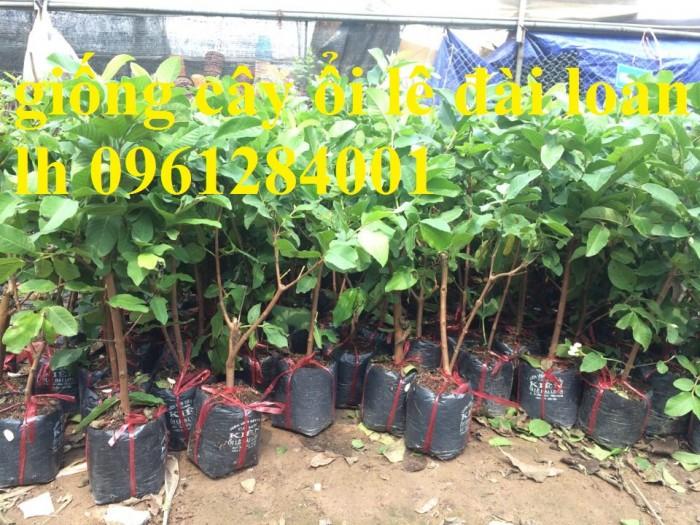 Bán cây giống ổi lê đài loan, số lượng lớn, giao cây toàn quốc.3