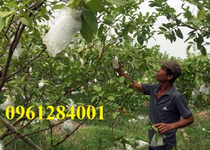 Bán cây giống ổi lê đài loan, số lượng lớn, giao cây toàn quốc.2