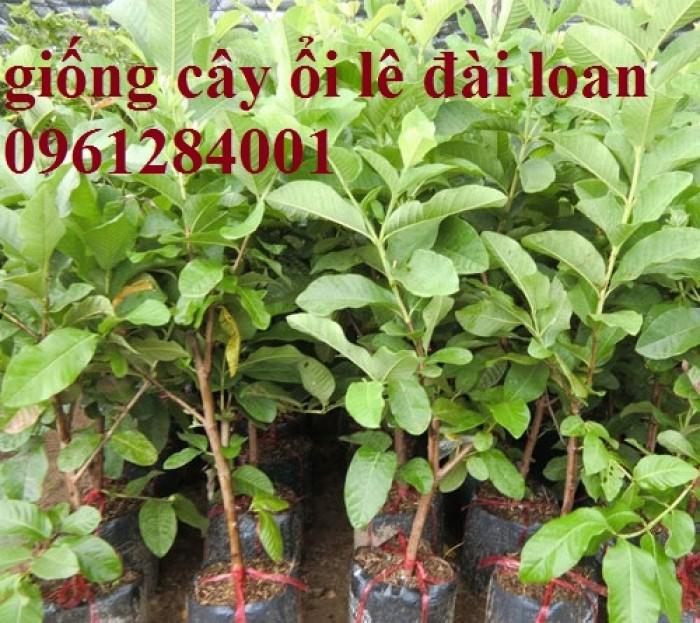 Bán cây giống ổi lê đài loan, số lượng lớn, giao cây toàn quốc.4