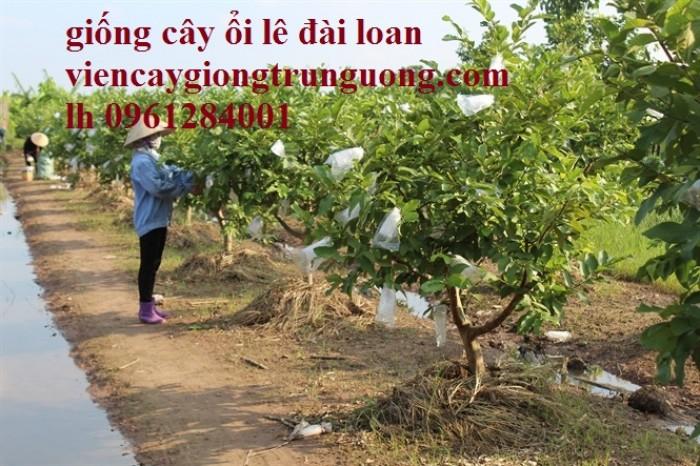 Bán cây giống ổi lê đài loan, số lượng lớn, giao cây toàn quốc.8