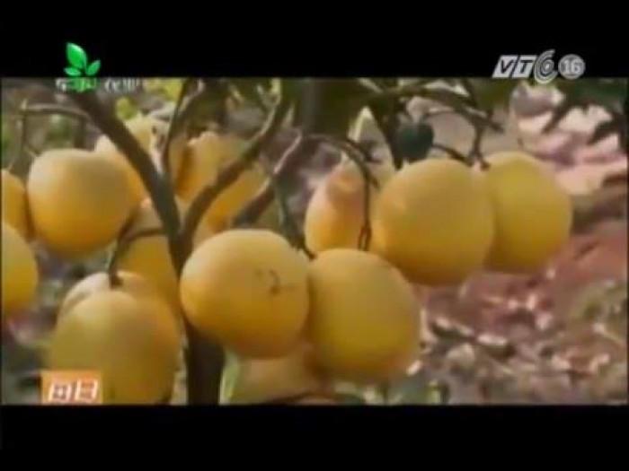 Cung cấp giống cây bưởi lùn tứ xuyên, cây bưởi lùn cao 1m đã  cho quả, năng suất chất lượng7