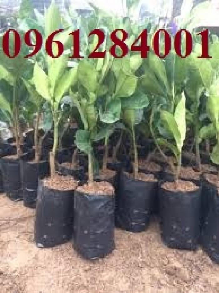 Cung cấp giống cây bưởi lùn tứ xuyên, cây bưởi lùn cao 1m đã  cho quả, năng suất chất lượng0