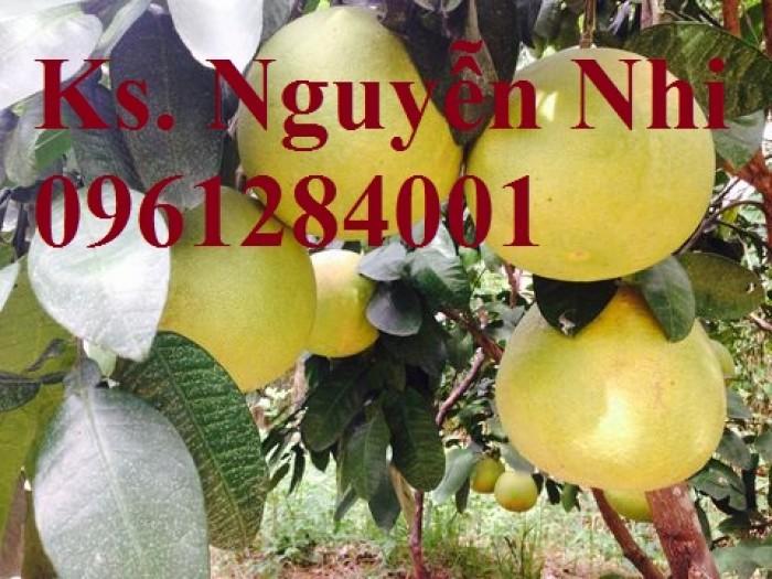 Cung cấp giống cây bưởi lùn tứ xuyên, cây bưởi lùn cao 1m đã  cho quả, năng suất chất lượng6