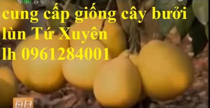 Cung cấp giống cây bưởi lùn tứ xuyên, cây bưởi lùn cao 1m đã  cho quả, năng suất chất lượng10