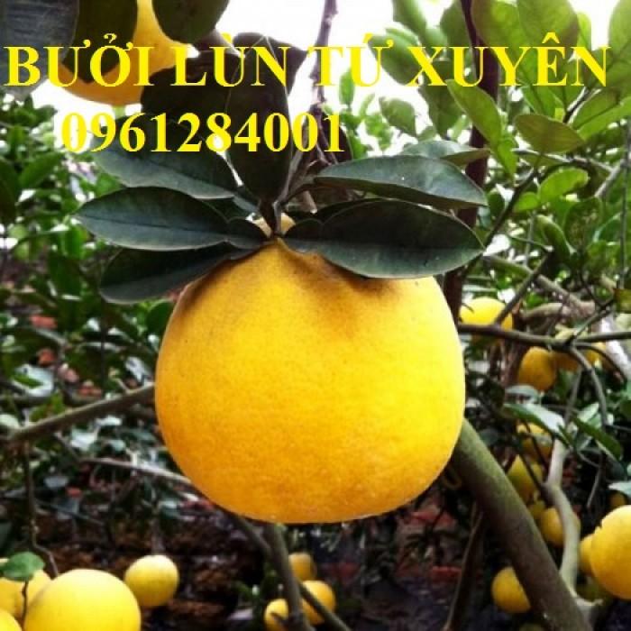 Cung cấp giống cây bưởi lùn tứ xuyên, cây bưởi lùn cao 1m đã  cho quả, năng suất chất lượng4